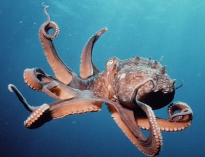 This octopus will NOT eat